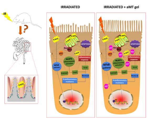 La-melatonina-protege-el-intestino-delgado-de-la-radioterapia-en-ratas_image640_